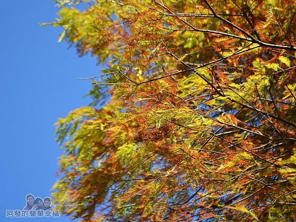 落羽松大道04-如羽毛般的枝葉