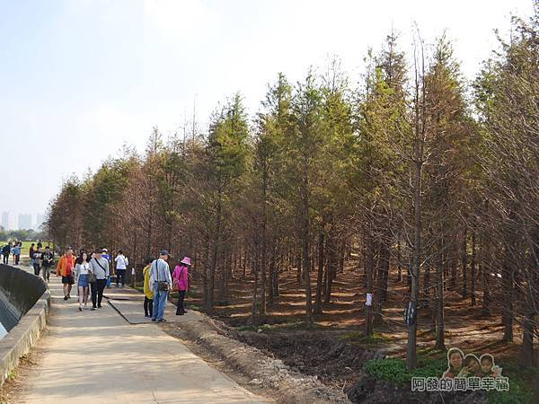 落羽松森林02-曾被稱為秘境的落羽松森林