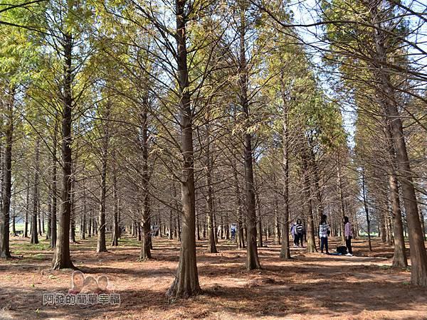 落羽松森林18-森林的尾端