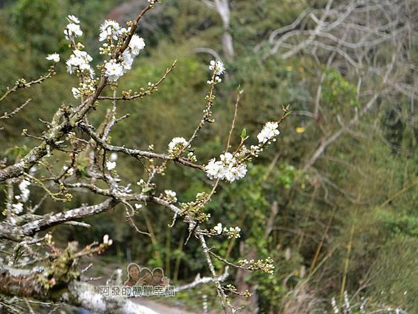 洗水坑李花祕境12-枝頭上的李花