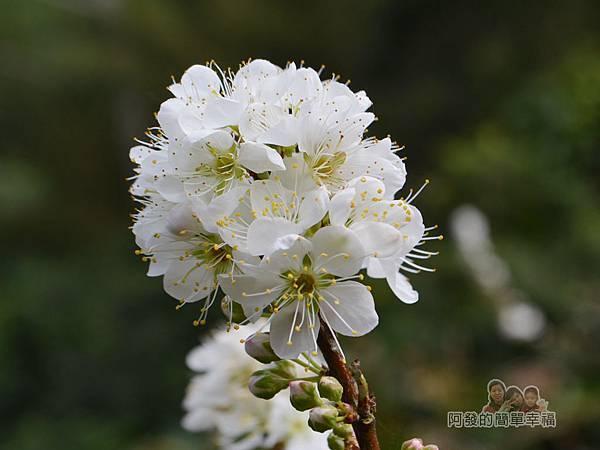 洗水坑李花祕境13-盛開的李花感覺很像梅花