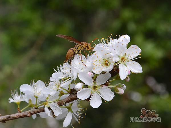 洗水坑李花祕境17-忙著採花蜜的蜜蜂