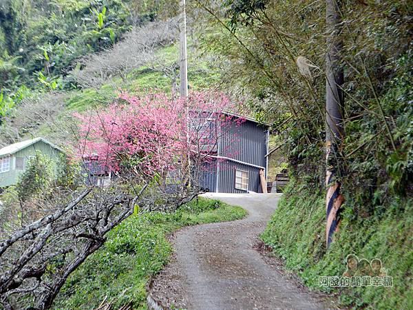 洗水坑李花祕境24-盛開的櫻花