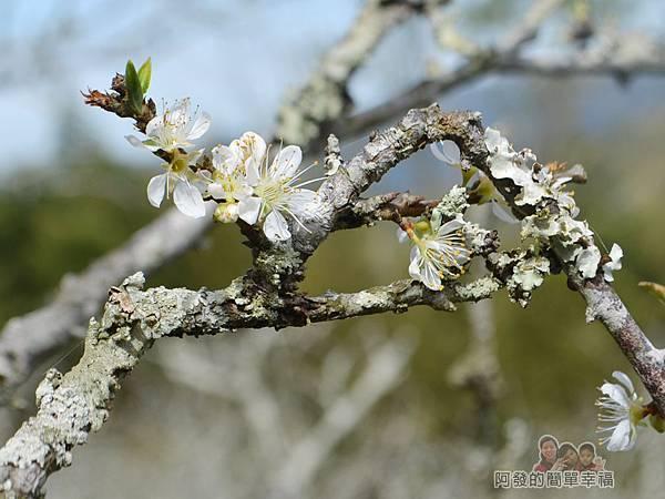 洗水坑李花祕境27-盛開的李花