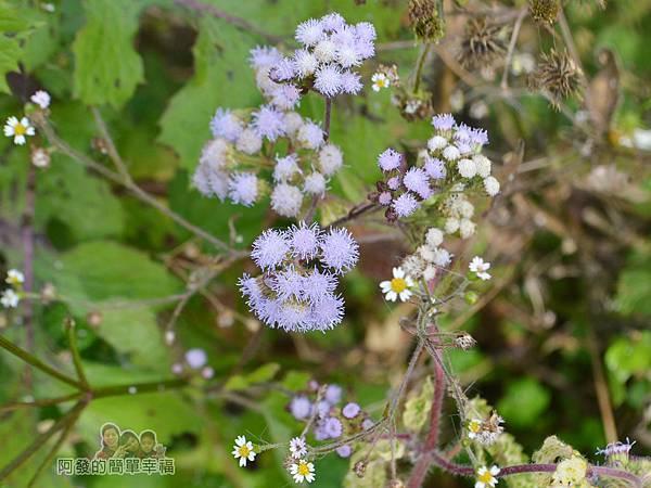 洗水坑李花祕境28-可愛的小野花