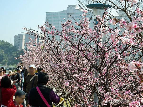 東湖樂活公園09-〝內溝溪〞畔旁整排寒櫻綻放