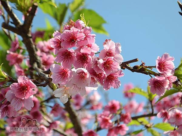 東湖樂活公園10-開花量驚人的寒櫻