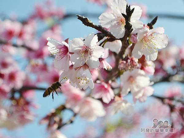 東湖樂活公園12-隨處可見飛進飛出採蜜的蜜蜂