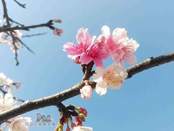 東湖樂活公園14-淡粉嬌嫩的寒櫻綻放