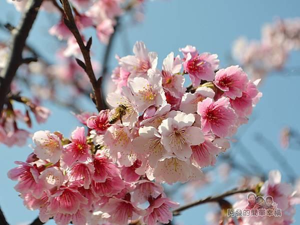 東湖樂活公園15-櫻花像爆米花般的綻放