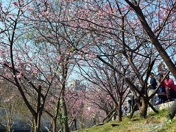 東湖樂活公園20-有如小型櫻花林隧道