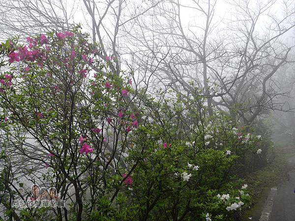 大尖山賞櫻04-沿路上紅白交錯且盛開的杜鵑花