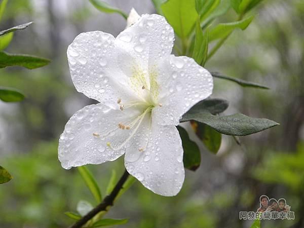 大尖山賞櫻05-雨後盛開的白杜鵑花