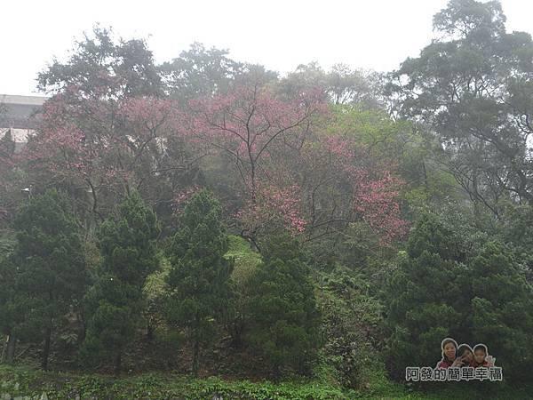 大尖山賞櫻08-山坡上迷蒙的櫻花林