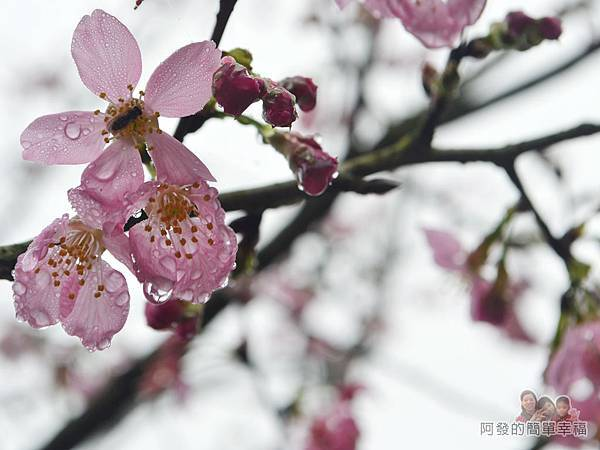 大尖山賞櫻09-雨後的櫻花