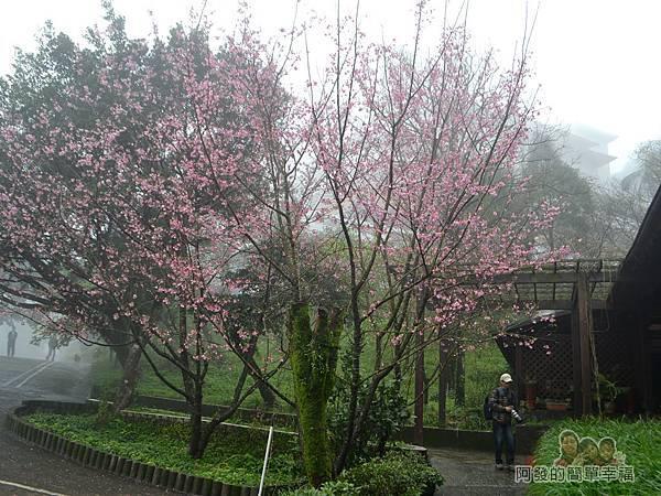大尖山賞櫻10-珍饡玉膳餐廳旁的櫻花樹
