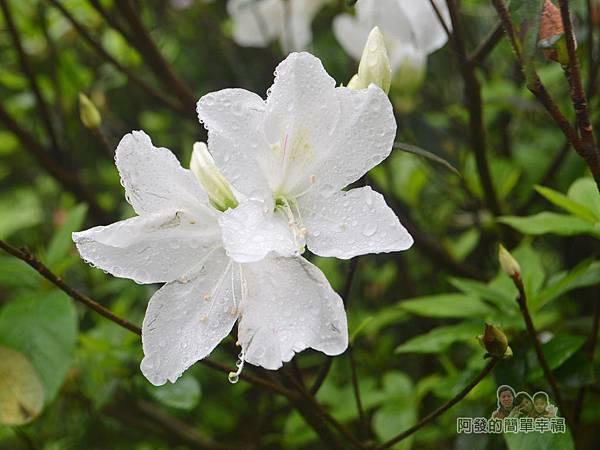 大尖山賞櫻16-雨後盛開的白杜鵑花