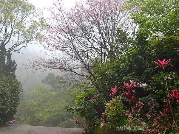 大尖山賞櫻17-道院後山坡花景