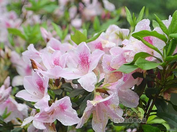 大尖山賞櫻18-美麗的淡粉紅杜鵑花