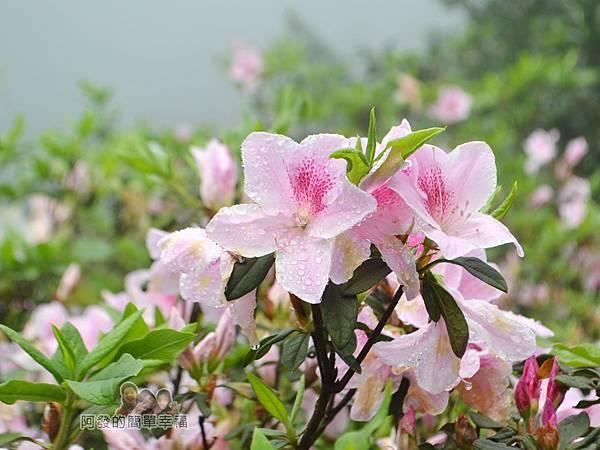 大尖山賞櫻19-美麗的淡粉紅杜鵑花II