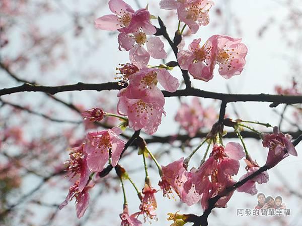 大尖山賞櫻24-櫻花瓣充滿露水
