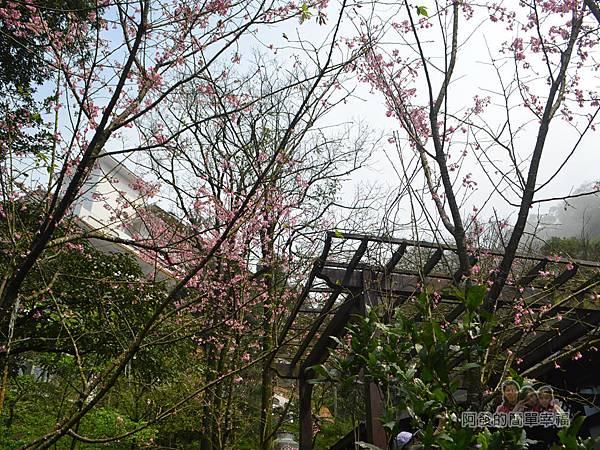 大尖山賞櫻27-餐廳旁櫻花樹一景