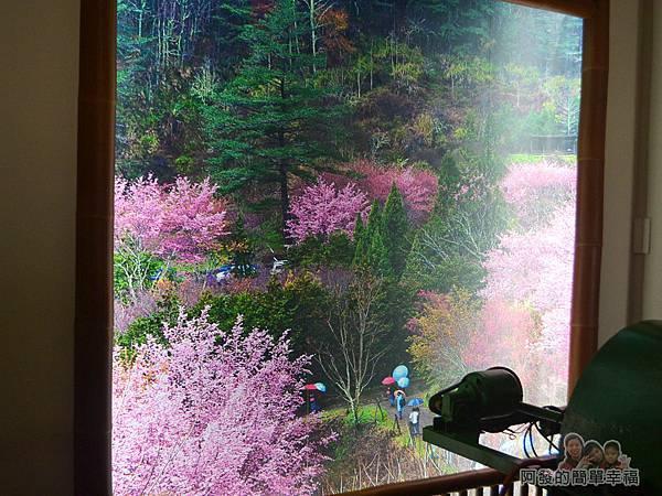 大尖山賞櫻29-周邊櫻花盛開時的樣貌