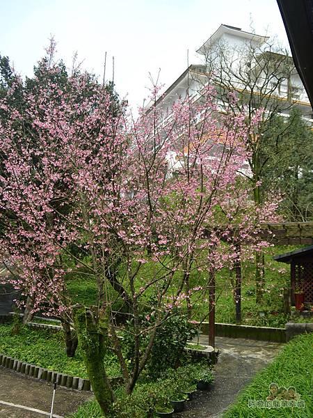 大尖山賞櫻31-餐廳廊道上的美麗櫻景