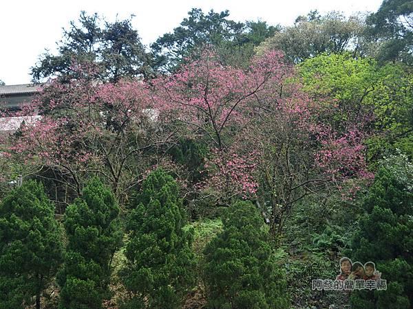 大尖山賞櫻34-山坡上的櫻花林