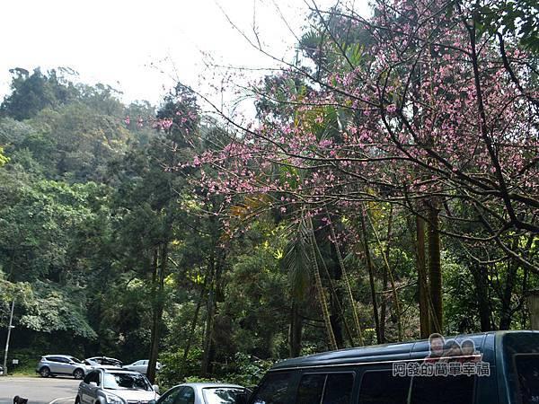 大尖山賞櫻35-回程的櫻景