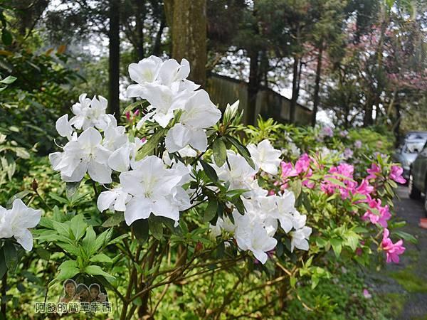 大尖山賞櫻36-盛開的杜鵑花叢