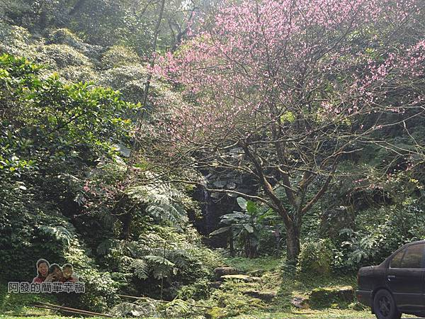 大尖山賞櫻38-櫻花樹與潺潺小瀑布