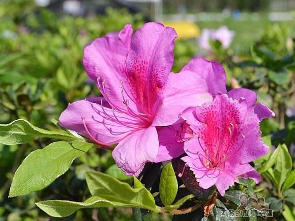 三生步道07-盛開的杜鵑花