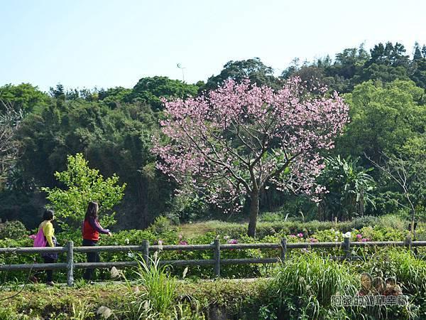 三生步道17-對岸盛開櫻花樹