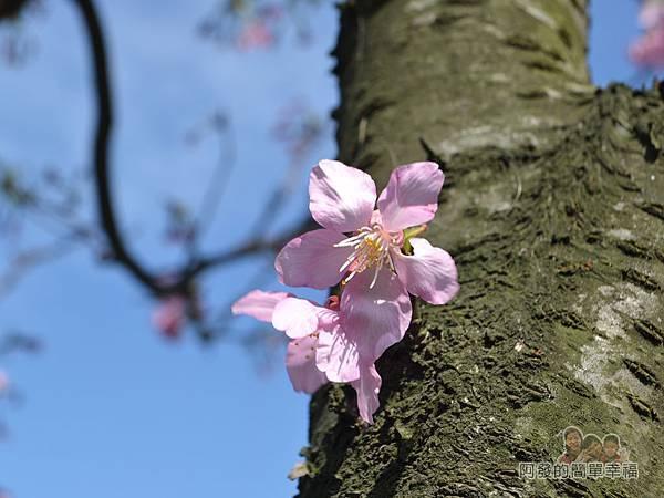 三生步道22-樹幹上的櫻花