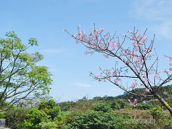 三生步道26-藍天綠樹粉紅櫻