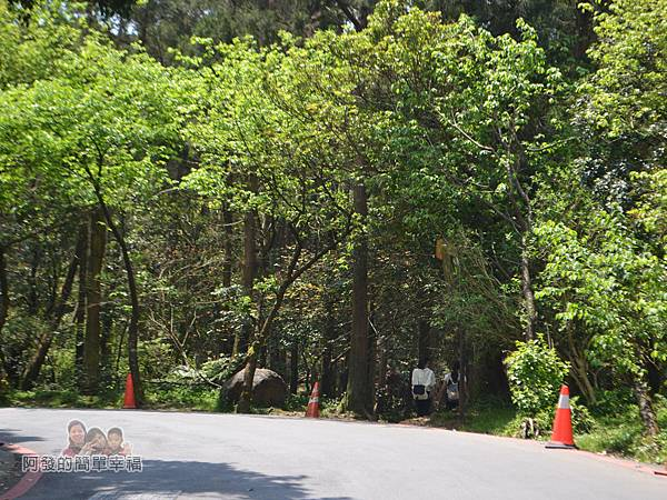 小溪頭柳杉林(黑森林)07-離風架口站約不到50公尺