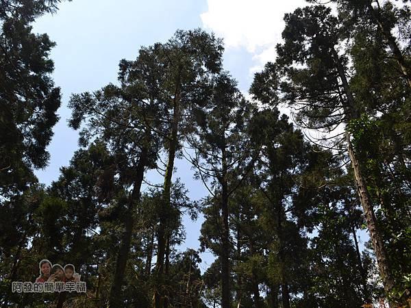 小溪頭柳杉林(黑森林)16-英挺筆直的柳杉