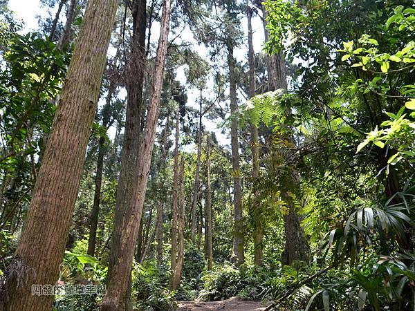 小溪頭柳杉林(黑森林)17-充滿森林系的氣氛
