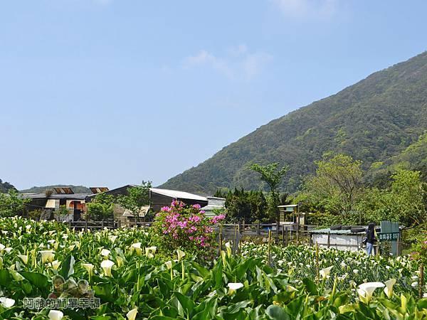 竹子湖海芋季13-海芋田一景