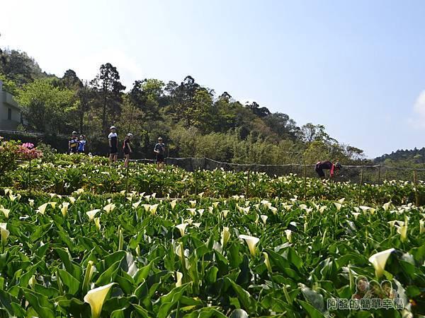 竹子湖海芋季14-大片白花點點的海芋田