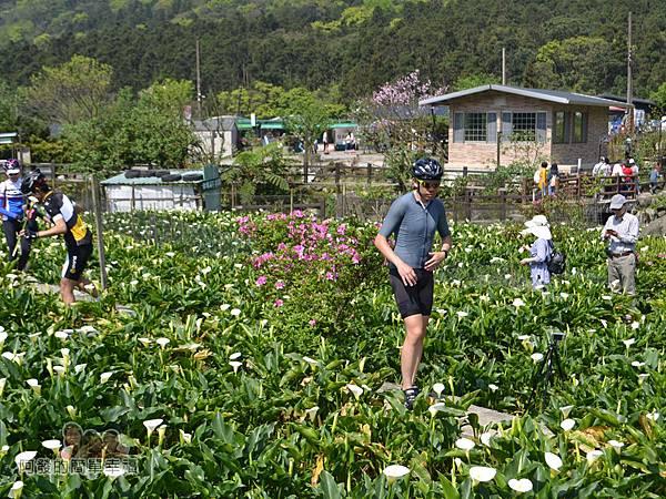 竹子湖海芋季16-人們在田中穿梭尋找