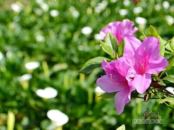 竹子湖海芋季17-海芋田上盛開的杜鵑