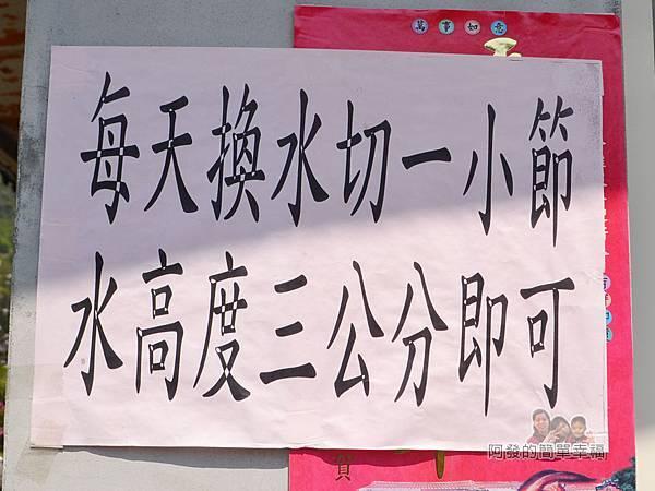 竹子湖海芋季28-回家海芋保存方式