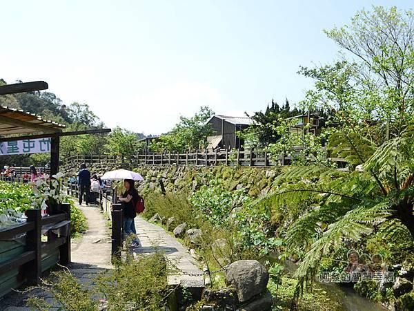 竹子湖海芋季32-下湖海芋步道