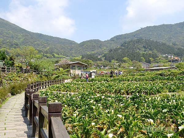 竹子湖海芋季34-萬花齊放的海芋花田