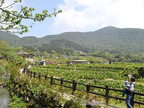 竹子湖海芋季36-花田水畔的美麗景色