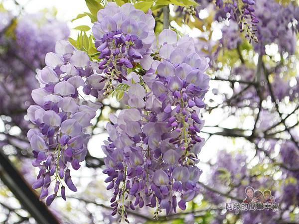 台北花卉村29-新娘禮車停車區(棚架區)-紫藤特寫