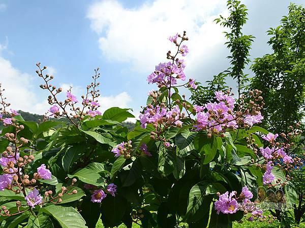 泰山繡球花步道05-步道旁的紫色花叢