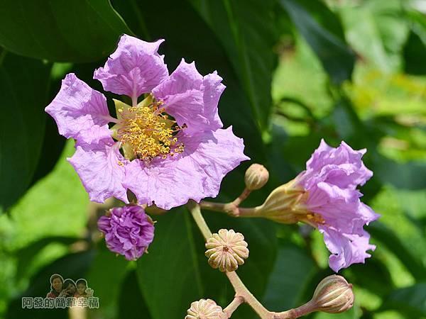泰山繡球花步道06-典雅的紫花